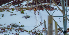 The Stag i Caught Earlier is still walking the Fence @ The Pass of Drumochter.