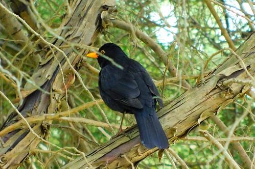 Common Blackbird (Melro-preto)