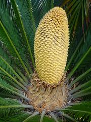 Palm Egg