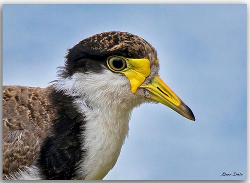 Masked lapwing juvenile