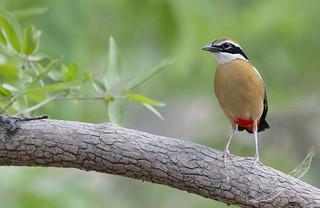 Indian Pitta (Pitta brachyura)