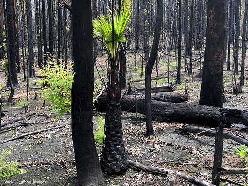 Epicormic Regrowth & Livistona australis - Cabbage Palm after the Hillville Fire of 8th November 2019, Talawahl Nature Reserve,  Mid North Coast, NSW