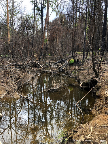 After the Hillville Fire of November 8th 2019, Talawahl Nature Reserve, Coates Road, Mid North Coast, NSW