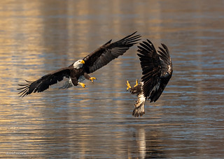 incoming male bald eagle