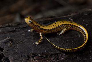 Long-tailed Salamander(Eurycea longicauda)