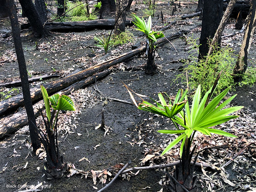 Livistona australis - Cabbage Palm Re-shooting after the Hillville Fire of 8th November 2019, Talawahl Nature Reserve,  Mid North Coast, NSW