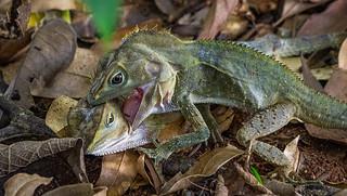 Wk8-52 Lizards