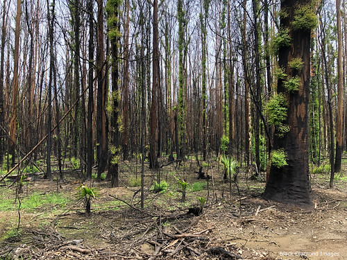 Epicormic Regrowth after the Hillville Fire of 8th November 2019, Talawahl Nature Reserve,  Mid North Coast, NSW