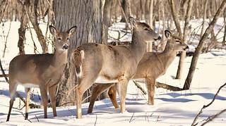 Goldilocks and the Three Deers