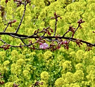 桜🌸一輪咲いて One cherry tree blooms