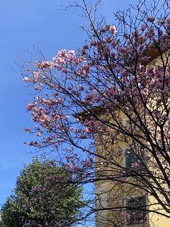 Fiorisce un albero di magnolia