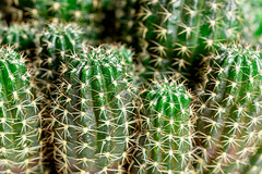 Close-up bush of green cactus with thorns