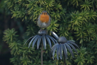 Robin on plant support in my garden