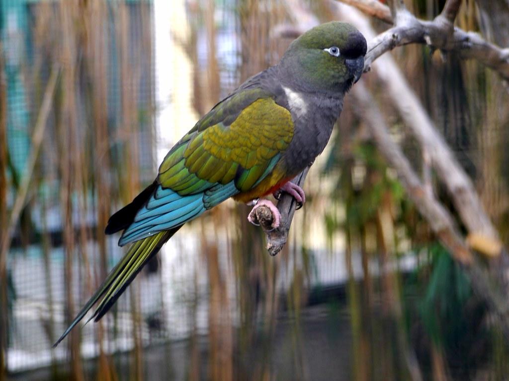 Felsensittich / Burrowing parrot