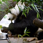 Grosser Panda / Giant Panda