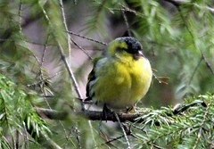 Siskin,,yellow and green
