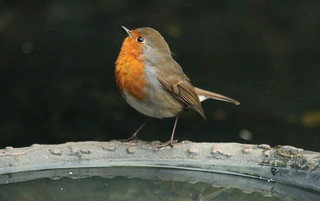 Robin displaying