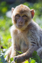 Young macaque looking at me