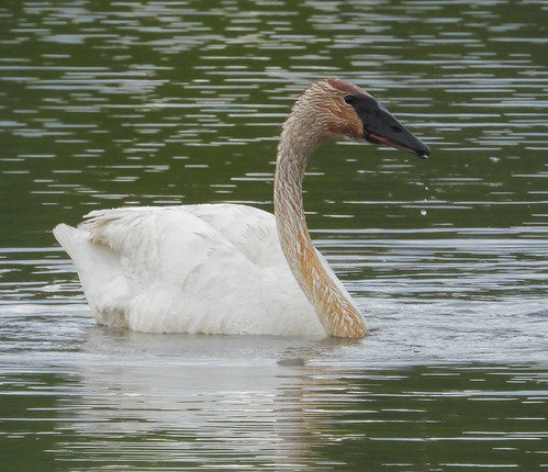 Trumpeter Swan (Cygnus buccinator)-1503