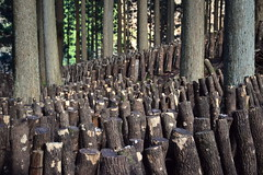 Tree stumps around Mount Sobo