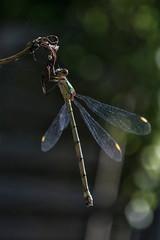 Juffer - Zygoptera