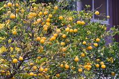 Lemons in Kyushu