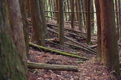 Cedar Forest in Mount Sobo