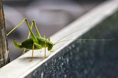 Sabelsprinkhaan- Tettigoniidae