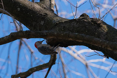 Male Red Bellied Woodpecker Clinging to Maple Tree