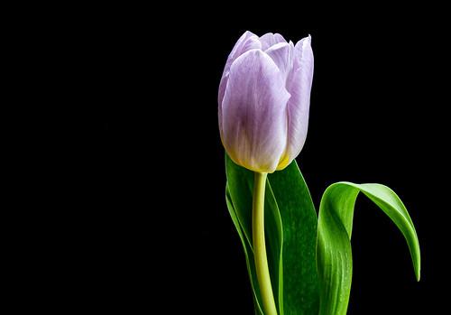 Tulip - 6M7A8889