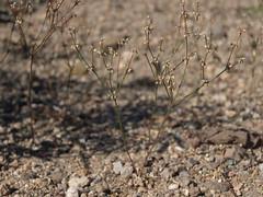 Bailey buckwheat, Eriogonum baileyi var. baileyi