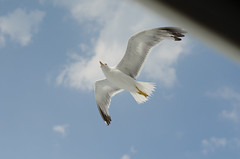 Beautiful seagull flying in blue sky.