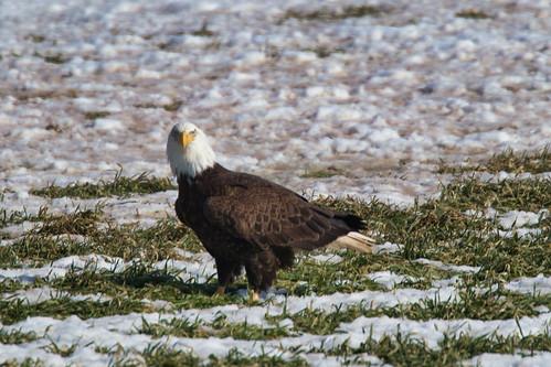 Bald Eagle Stinkeye - Sheffield Mills Nova Scotia