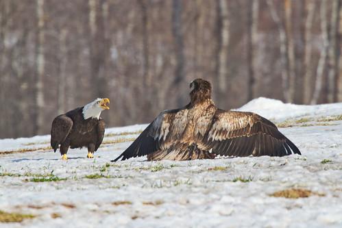 Bald Eagle Standoff - Sheffield Mills Nova Scotia