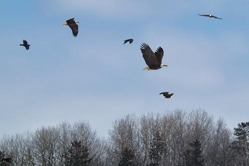 Bald Eagles and Crows in Flight, Sheffield Mills Nova Scotia