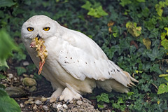 Snowy owl with chicken in the beak