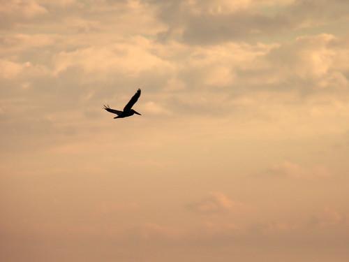 2020-02-19_N0471_pelican-silhouette