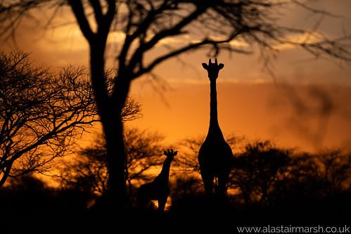 Giraffe Sunsets