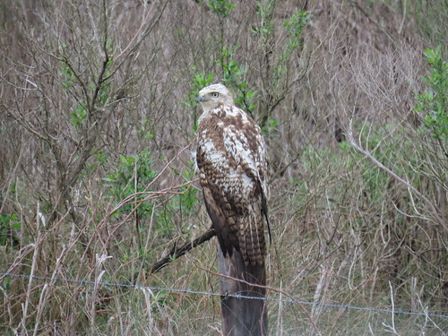Is this a Red-tailed Hawk?