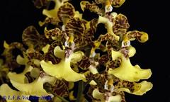 Oncidium Windward Beauty Waianae