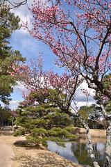 衆楽園の梅の花147