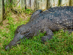 St. Augustine Alligator Farm Zoological Park-2_2020