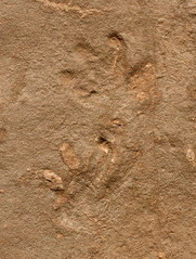 Tetrapod footprints (Sangre de Cristo Formation, Lower Permian; El Pueblo site, Upper Pecos Valley, New Mexico, USA) 3