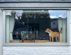 Zwei Hunde am Fenster in einem Haus