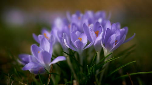 Ersten_Frühlingsblumen