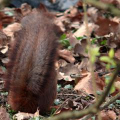 Eurasian red squirrel, Sciurus vulgaris, Ekorre