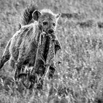 Hyena Running Off with Scavenged Spoils by June Sparham