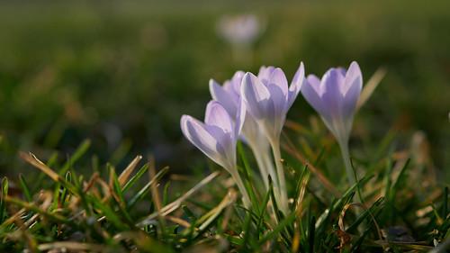 Ersten_Frühlingsblumen 2