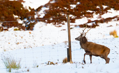 Mr Stag still looking for a Way over the fence ...