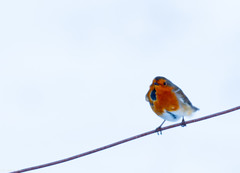Mr Robin doing well to Balance on the Fence wire without getting Blowin Away into the Snow Drifts ..